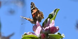Painted Lady butterflies, some of about 1 billion who are swarming through the skies of southern California during their migration north from Mexico, feed on apple blossom flowers in Glendale, California, March 13, 2019. - Scientists say the migration isn not new, but they have not seen numbers like this in almost 15 years, attributing the event to the unusual amount of rain in the region is year. (Photo by Robyn Beck / AFP)